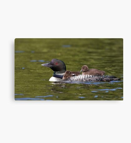 Common loon swimming with two chicks on her back Canvas Print