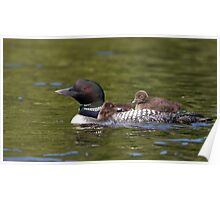 Common loon swimming with two chicks on her back Poster