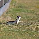 Stoat Watching by Roadside by Sue Robinson