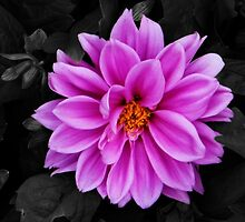 Contrasting flower - Dahlia by PlaneMad1997