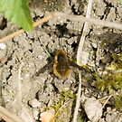 Dark-edged Bee-fly by Sue Robinson