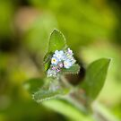 Forget-me-not Wild Flower by Sue Robinson