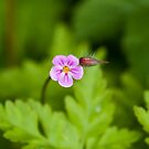 Herb Robert Wild Flower by Sue Robinson