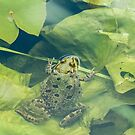 Marsh Frog Resting on Lilypad by Sue Robinson