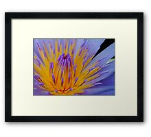 THE BLUE WATERLILY - Nymphaea nouchall. Framed Print