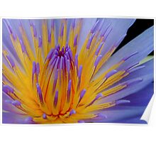THE BLUE WATERLILY - Nymphaea nouchall. Poster