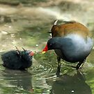 Common Moorhen and Baby by Sue Robinson