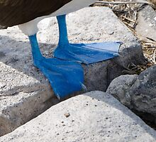 Blue-footed booby's blue feet by Michael Stiso