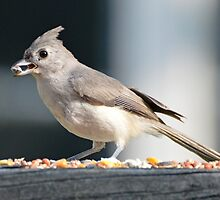 Tufted Titmouse by William Brennan