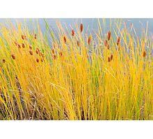 Colorful Autumn Cattails Photographic Print