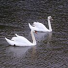 Two Swans A'Swimming by lezvee