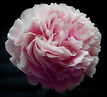 Giant, Pink Peony by GoddessChrissy