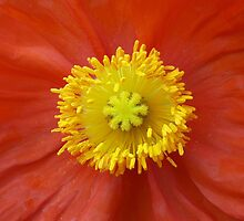 Yellow and Orange Poppy by GoddessChrissy