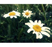 wild daisies on a green field Photographic Print