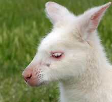 Albino Wallaby by Derwent-01