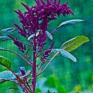 Amaranth in my garden by Carolyn Clark