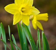 Beautiful Daffodils by Christina Rollo