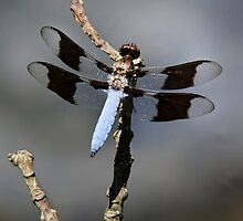 Common Whitetail Dragonfly by Christina Rollo