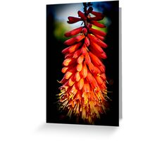 The Red Hot Poker Plant Greeting Card