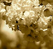 Spring blooms in sepia tones  by Margaret Stanton