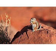 Antelope  Squirrel Photographic Print