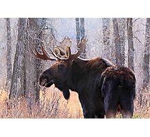 Bull Moose in Teton N.P., Wyoming Photographic Print