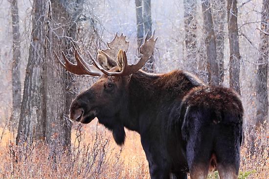 Bull Moose in Teton N.P., Wyoming by Ann  Van Breemen