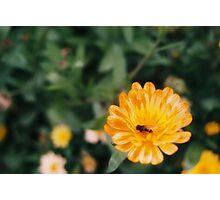 Bee Pollinating Orange Flower Photographic Print