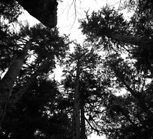 Redwood Giants by GoddessChrissy