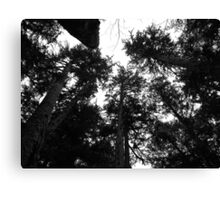 Redwood Giants Canvas Print