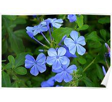 Fleurs Bleues Poster