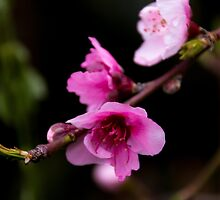 Nectarine-to-be by indiafrank