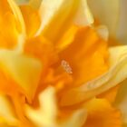 Double Daffodil by Tiffany Dryburgh
