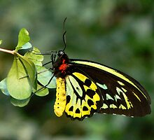 Cairns Birdwing Butterfly by Margaret Saheed