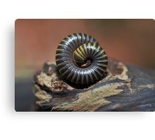 Yellow-Banded Millipede and Thief Ant Canvas Print