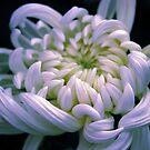 Chrysanthemum Dawn by Jessica Jenney