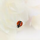 Ladybird on white rose by Ellen van Deelen