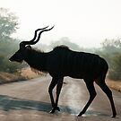 Male Kudu Silhouette by Clive S