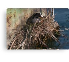 cormorant nest Canvas Print