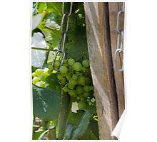 vineyard in spring Poster