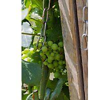 vineyard in spring Photographic Print