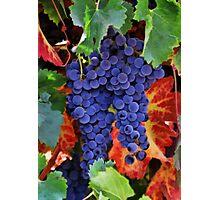 Autumn Vineyard Grapes Photographic Print