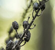 Black Cohosh Seed Pods - Wildflower - Actaea racemosa by MotherNature