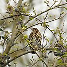 Song Thrush by Sue Robinson