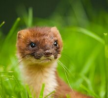 Stoat  by Paulneville