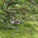 Weasel in Countryside by Sue Robinson