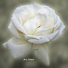 Honorable Rose by Nira Dabush