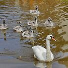 Seven Swans are Swimming by AnnDixon