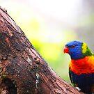 Rainbow Lorikeet On Peppercorn Tree Branch by Ronald Rockman