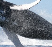Humpback Whale Jumping High Sticker